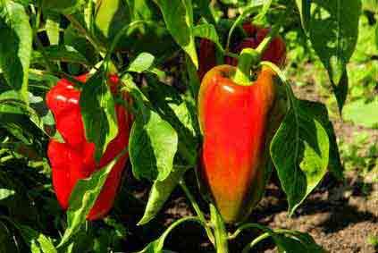 Paprika Gute Nachbarn : gem se pflanzen gute nachbarn fruchtfolge mischkultur krankheiten ~ Frokenaadalensverden.com Haus und Dekorationen